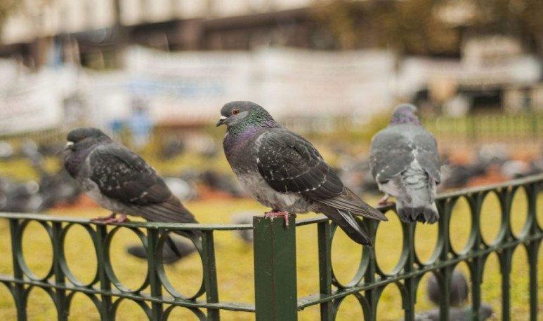 Más boludo que las palomas