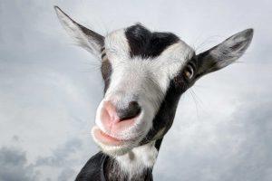 mas-loca-que-una-cabra
