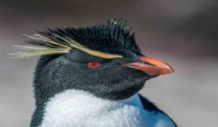 Pinguino penacho