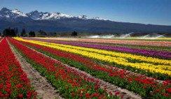 Tulipanes-Trevelin