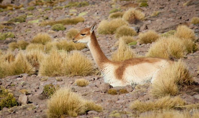 esquila-de-vicuña