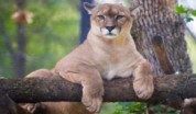 puma-en-peligro-de-extincion