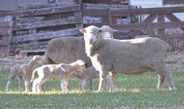 lambs-in-vitro