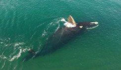 Puerto Madryn ballena franca