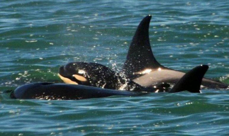 Madryn orcas babies