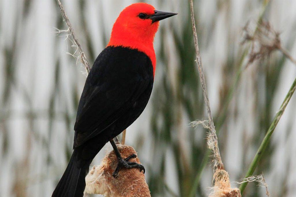 _pájaro-federal-