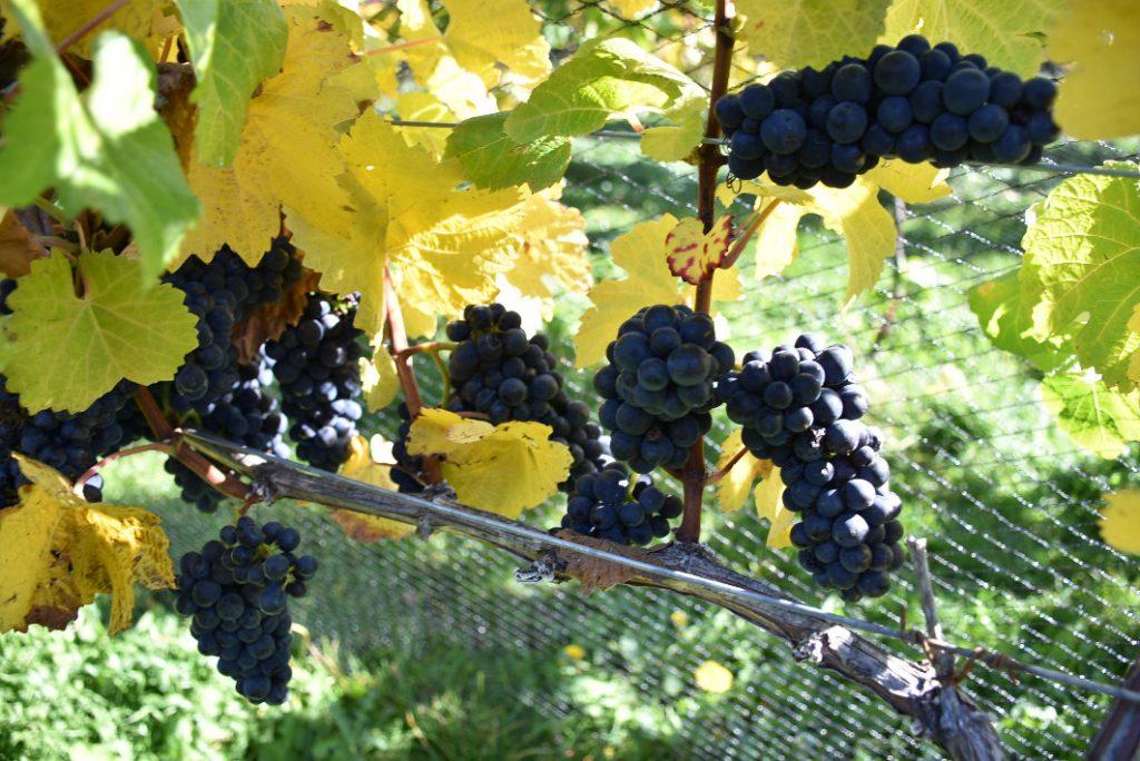 Nant and Fall Vineyards (3)