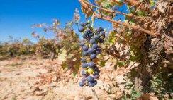 Calentamiento global: esperan menos producción vitivinícola
