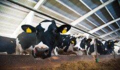 vacas en tambo