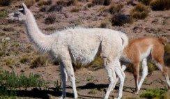 guanaco albino