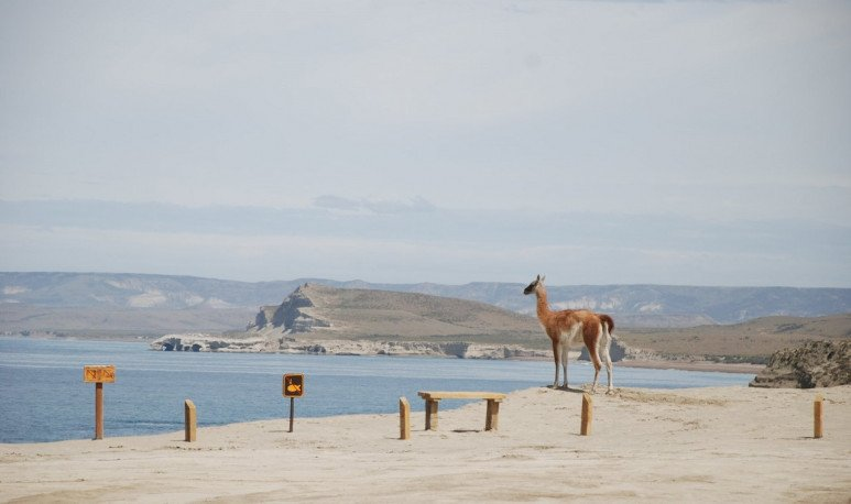 guanaco en monte leon