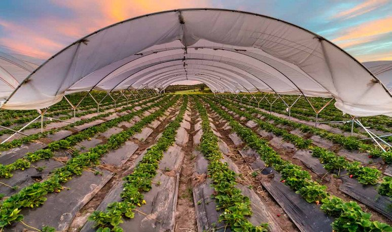 Plantación de frutillas Coronda