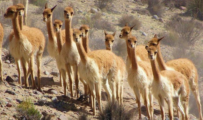 vicuñas en libertad