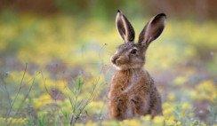 ¿Cómo erradicar a los conejos silvestres fueguinos?