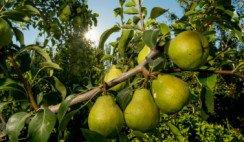 fiesta nacional de la pera