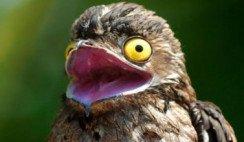 pájaro kakuy